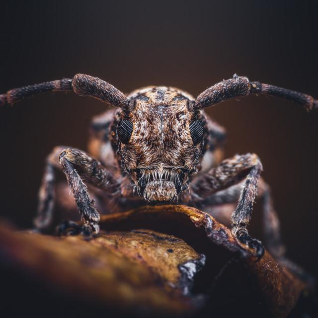 """""""Closeup of a Longhorn Beetle"""" stock image"""