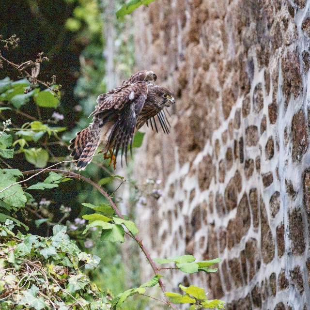 """""""Young Kestrel - early flight"""" stock image"""
