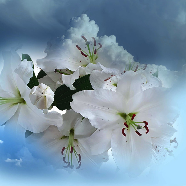 """""""White Lilies on a blue background"""" stock image"""