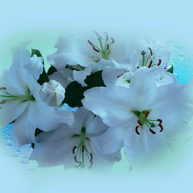 """""""White lilies"""" stock image"""