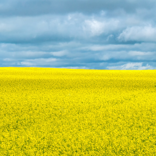 """Yellow Rapeseed Field"" stock image"