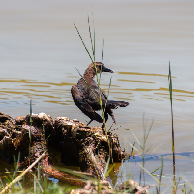 """""""A Boat-Tailed Grackle"""" stock image"""