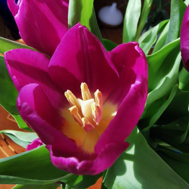 """Tulip detail"" stock image"