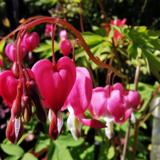"""""""Dicentra flowers"""" stock image"""