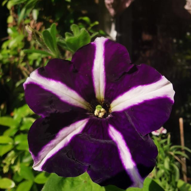 """Purple striped petunia"" stock image"