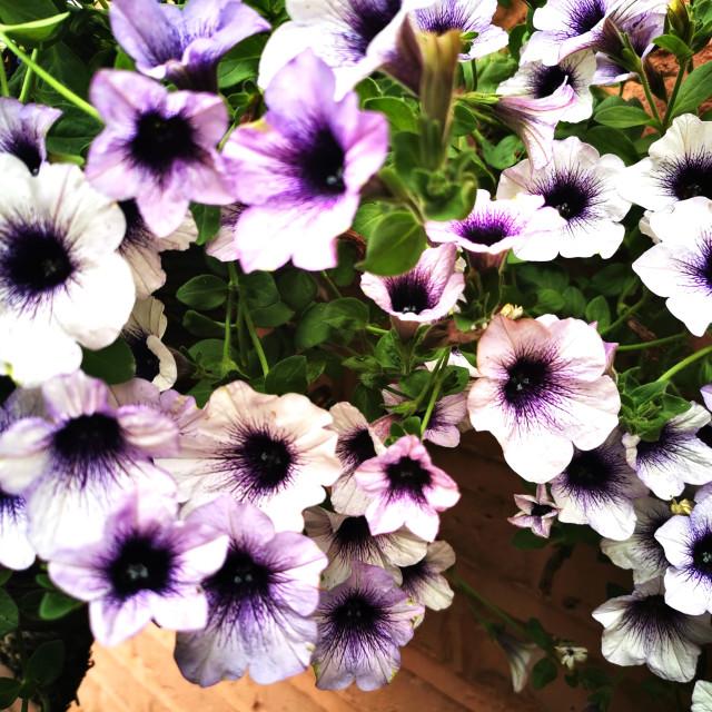 """""""Petunias"""" stock image"""