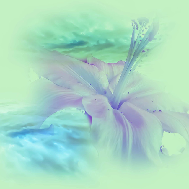 """""""Lily flower on a pale green back ground"""" stock image"""