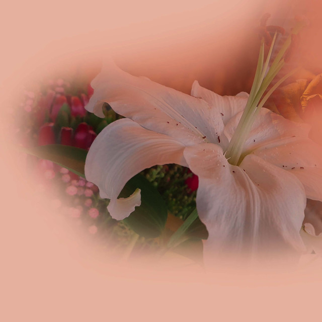 """""""A single White Lily flower"""" stock image"""