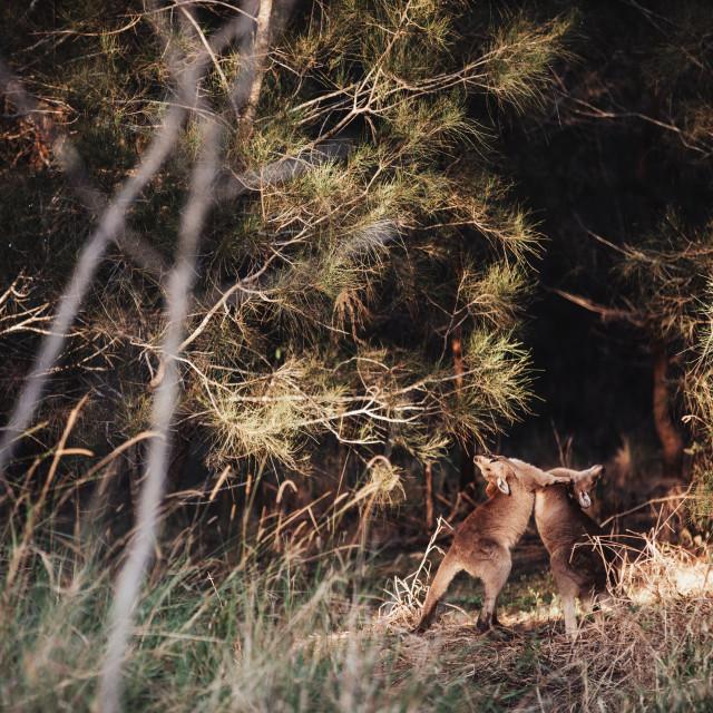 """Kangaroo Way 0330"" stock image"