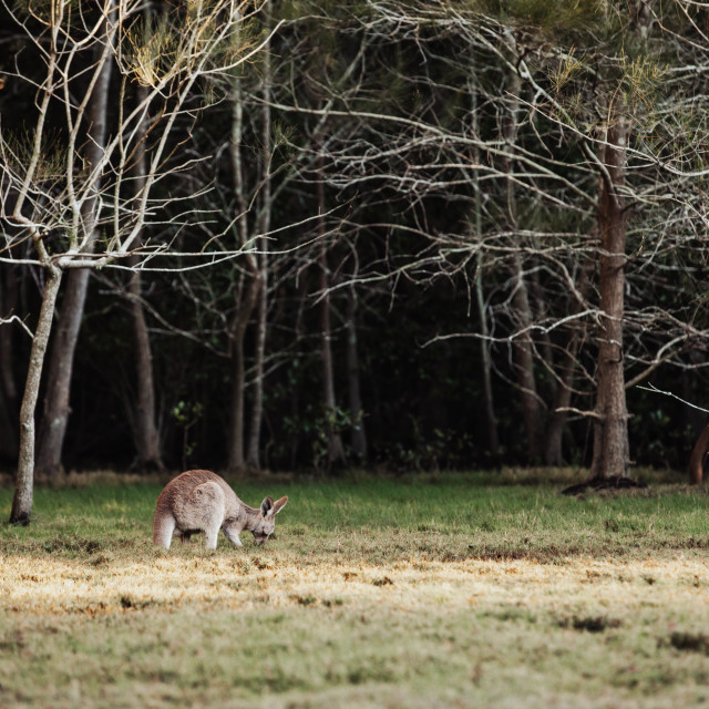"""Kangaroo Way 0331"" stock image"