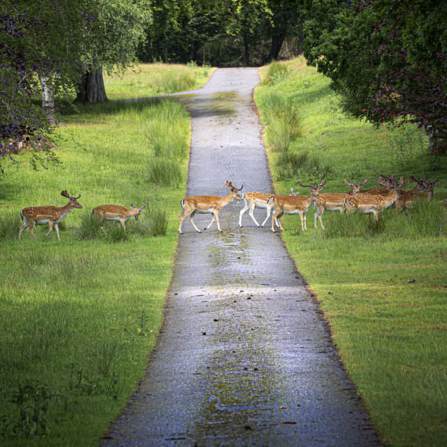 """""""Stop, Look, Listen ! Fallow Deer Crossing the Road, Highlands Style"""" stock image"""
