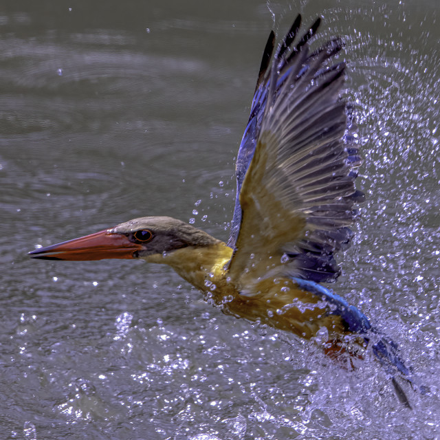 """Stork-billed kingfisher after a dive"" stock image"