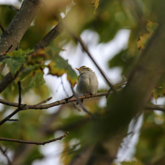 """""""Eastern Crowned Warbler"""" stock image"""