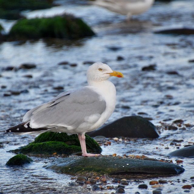 """""""Seagull in July"""" stock image"""