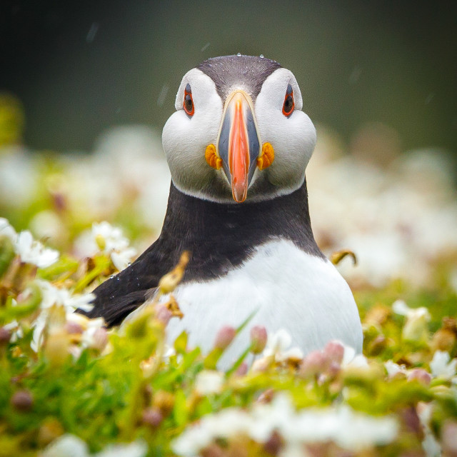 """""""Puffin shower"""" stock image"""