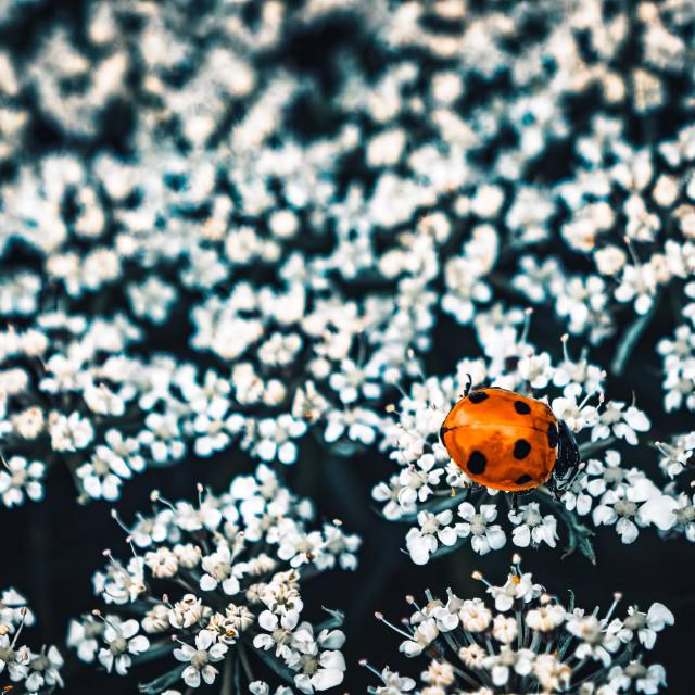 """Ladybird foraging."" stock image"