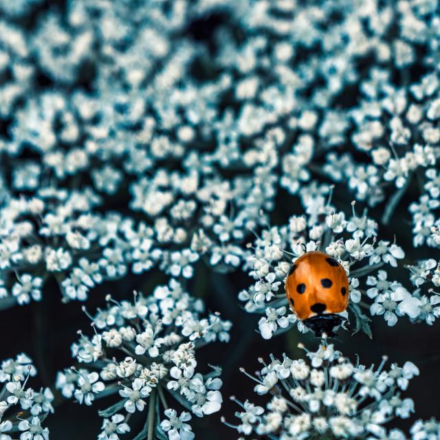 """Ladybird and Flower."" stock image"