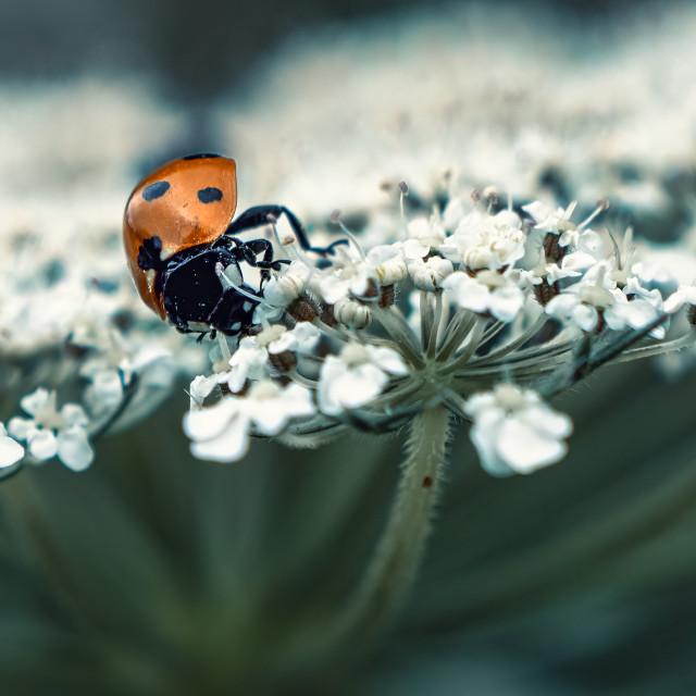 """Ladybird in Macro."" stock image"