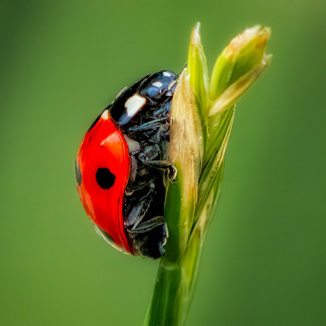 """A resting Ladybird."" stock image"