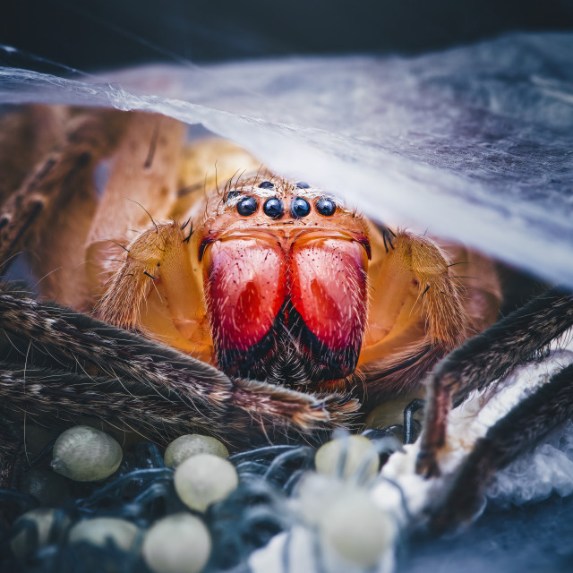 """Closeup of a Mother Huntsman Spider"" stock image"