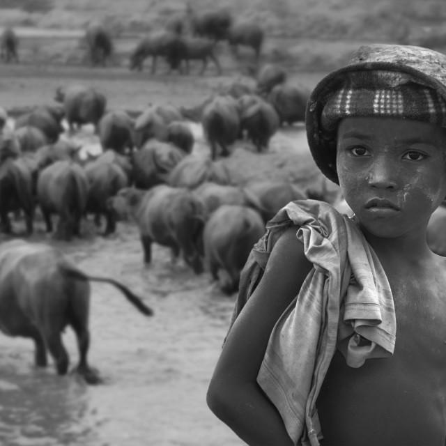 """A kid who watching buffaloes"" stock image"