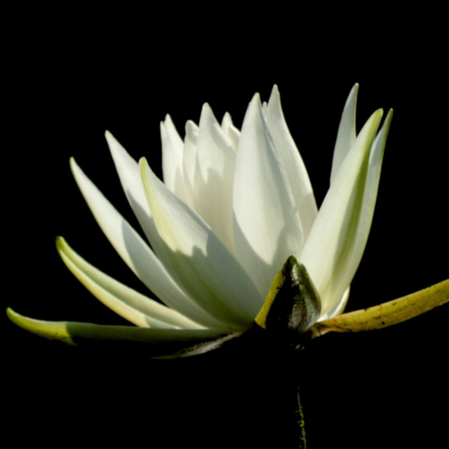 """White Waterlily Series - Image 53"" stock image"