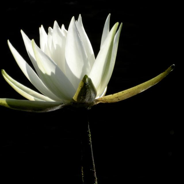 """White Waterlilies Series - Image 54"" stock image"
