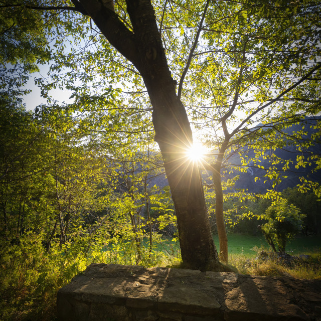 """""""Sunset beam through on the tree in the forest"""" stock image"""
