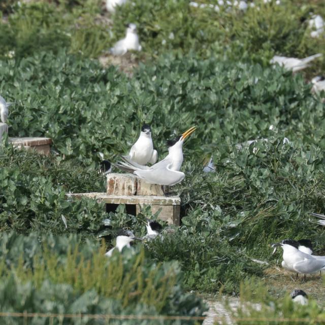 """Elegant Tern"" stock image"