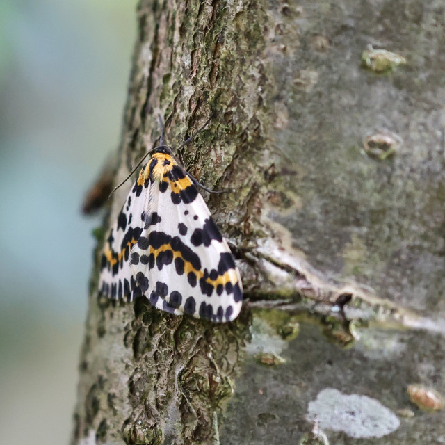 """Magpie Moth"" stock image"