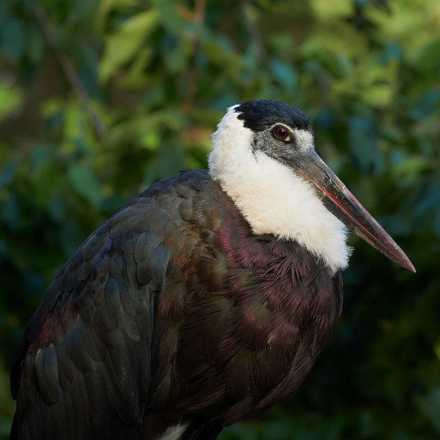 """""""Beautiful wooly-necked stork in the trees (Ciconia episcopus)"""" stock image"""