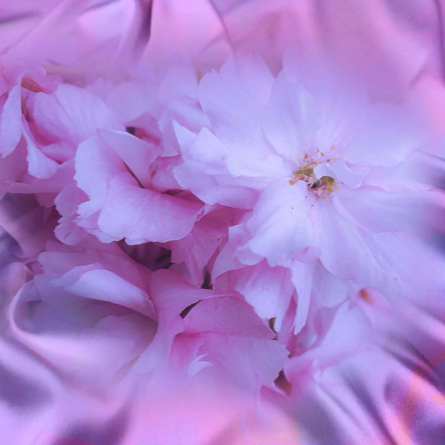 """""""Pink blossoms on a mauve silk background"""" stock image"""