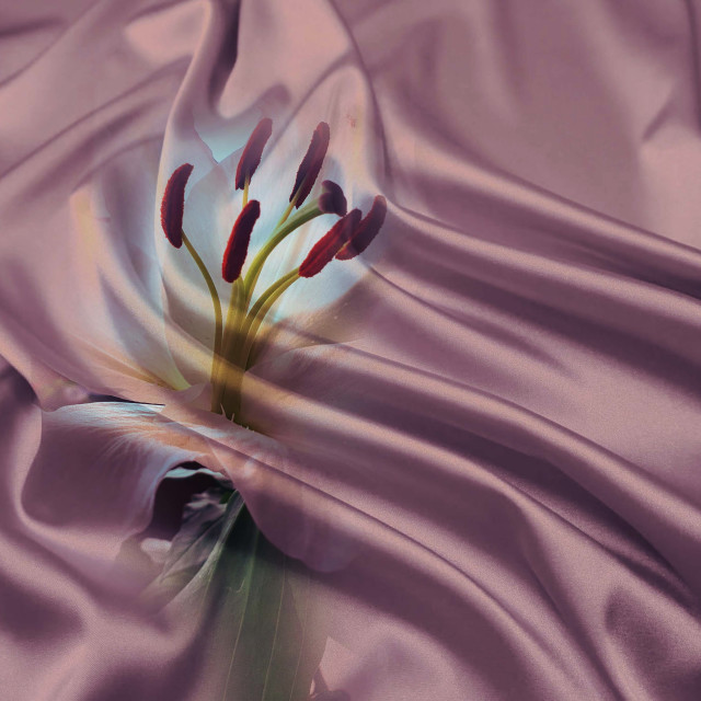 """""""Lily flowers on a silk background"""" stock image"""