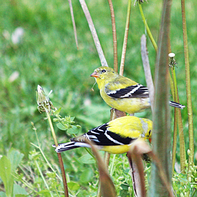 """""""two American Goldfinch"""" stock image"""