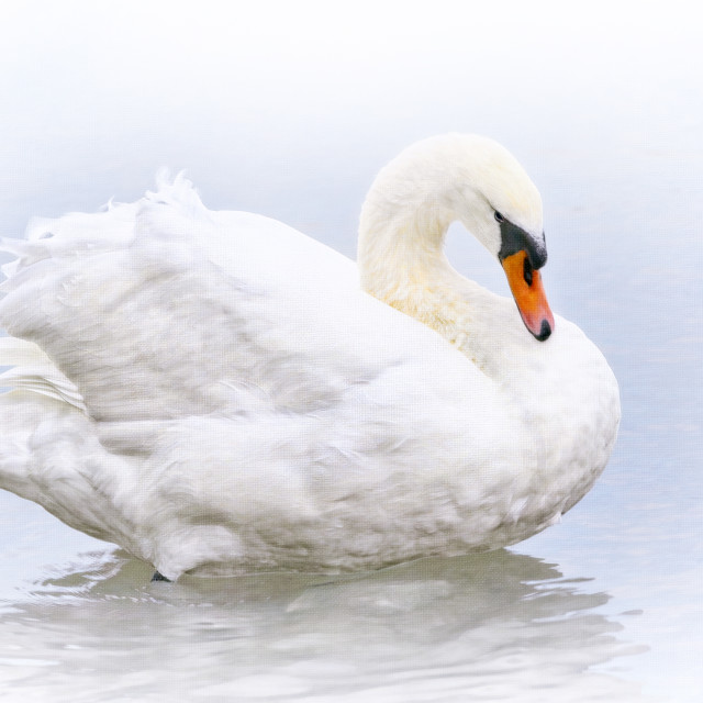"""""""Mute Swan - Painterly"""" stock image"""