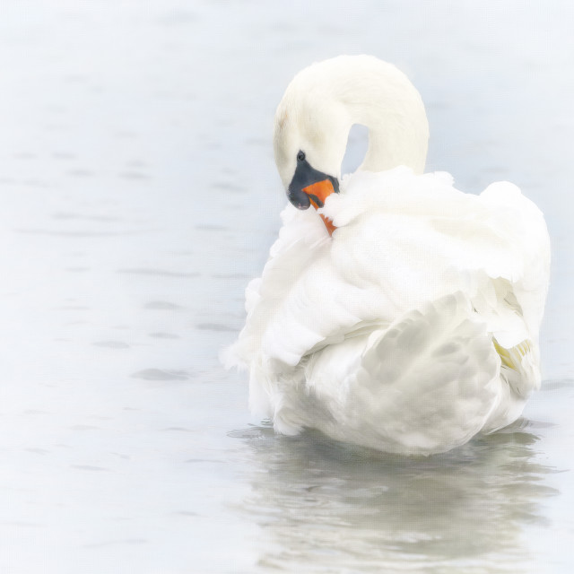"""""""Mute Swan Checking Her Plumes"""" stock image"""