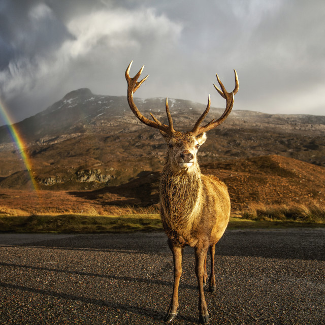"""""""Torridon, a Stag and a Rainbow"""" stock image"""