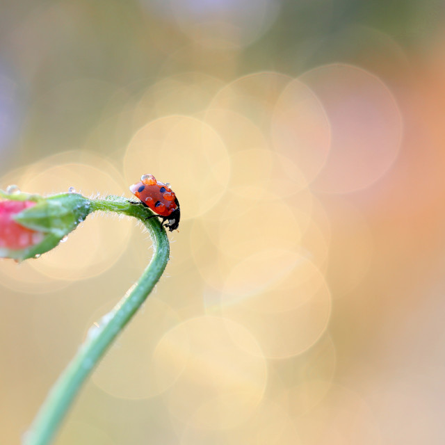 """""""Red ladybird looking for food on a green stem, on a nice colored background"""" stock image"""