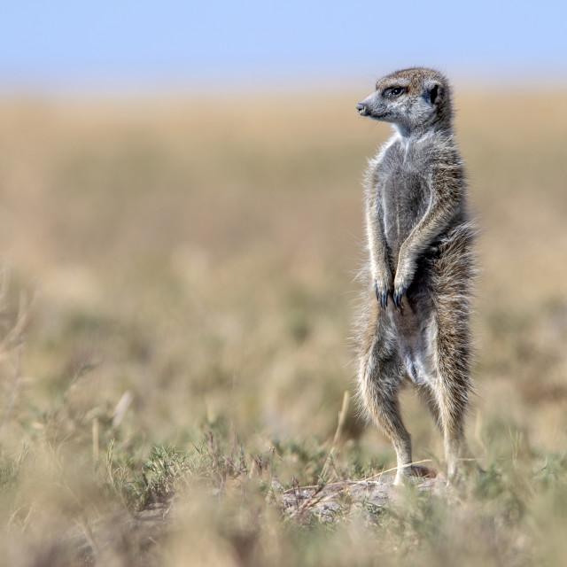 """""""Meerkat pose"""" stock image"""