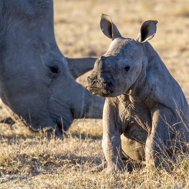"""""""White rhino calf"""" stock image"""