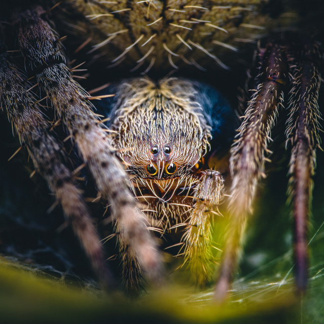 """""""Closeup of an Orbweaver Spider"""" stock image"""