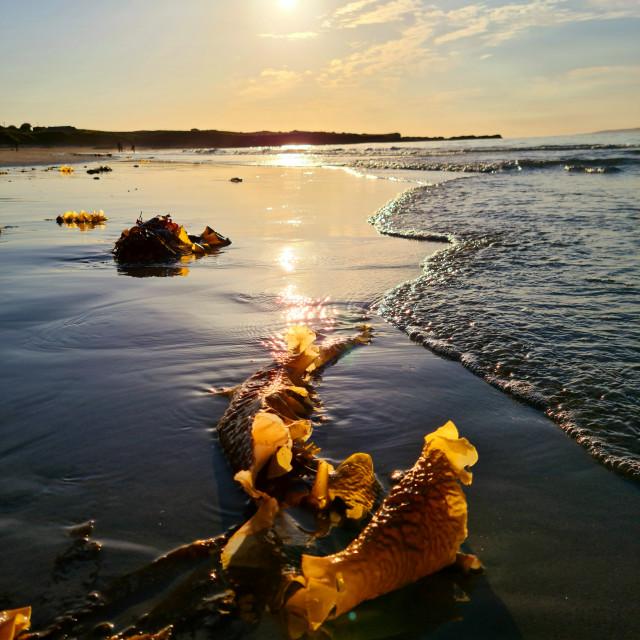 """Sunset and seaweed!"" stock image"