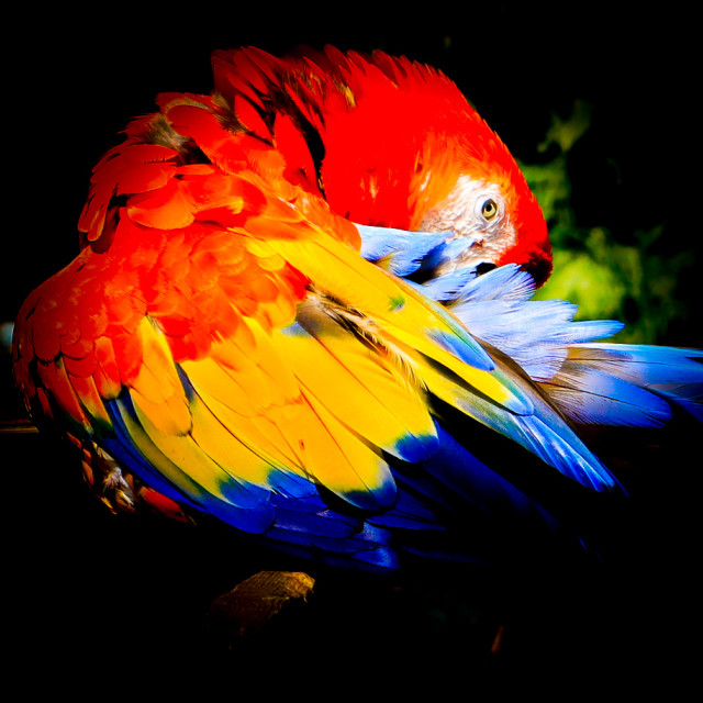 """""""Parrot grooming"""" stock image"""