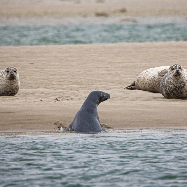 """Seals on Loch Fleet, Scottish Highlands"" stock image"