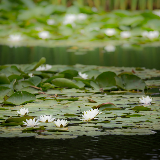 """""""Water-lily"""" stock image"""
