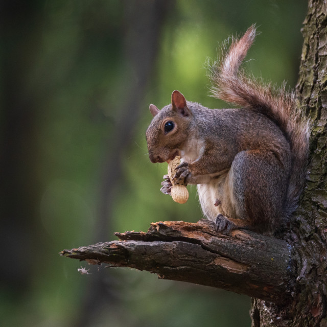 """""""North American gray squirrel eats a peanut sitting on a branch o"""" stock image"""