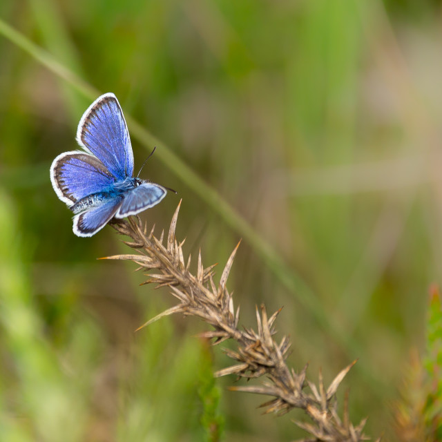 """""""Silver-studded Blue Butterfly"""" stock image"""
