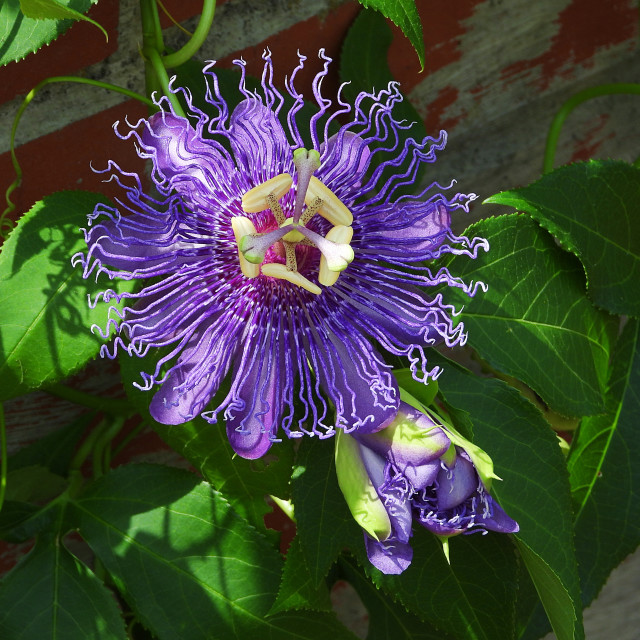 """""""Purple Passion Flower - with brick wall"""" stock image"""