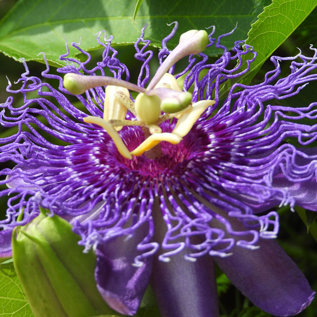 """""""Purple Passion Flower - side view close up"""" stock image"""