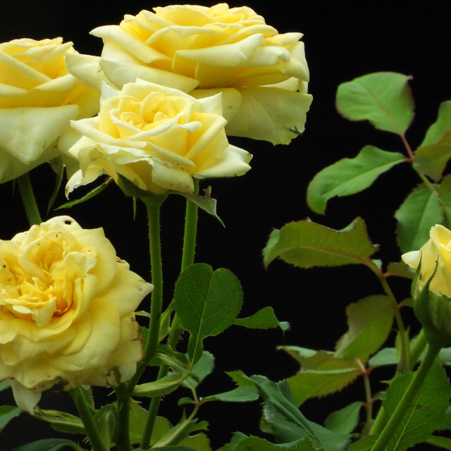 """""""Yellow Roses - silhouette"""" stock image"""
